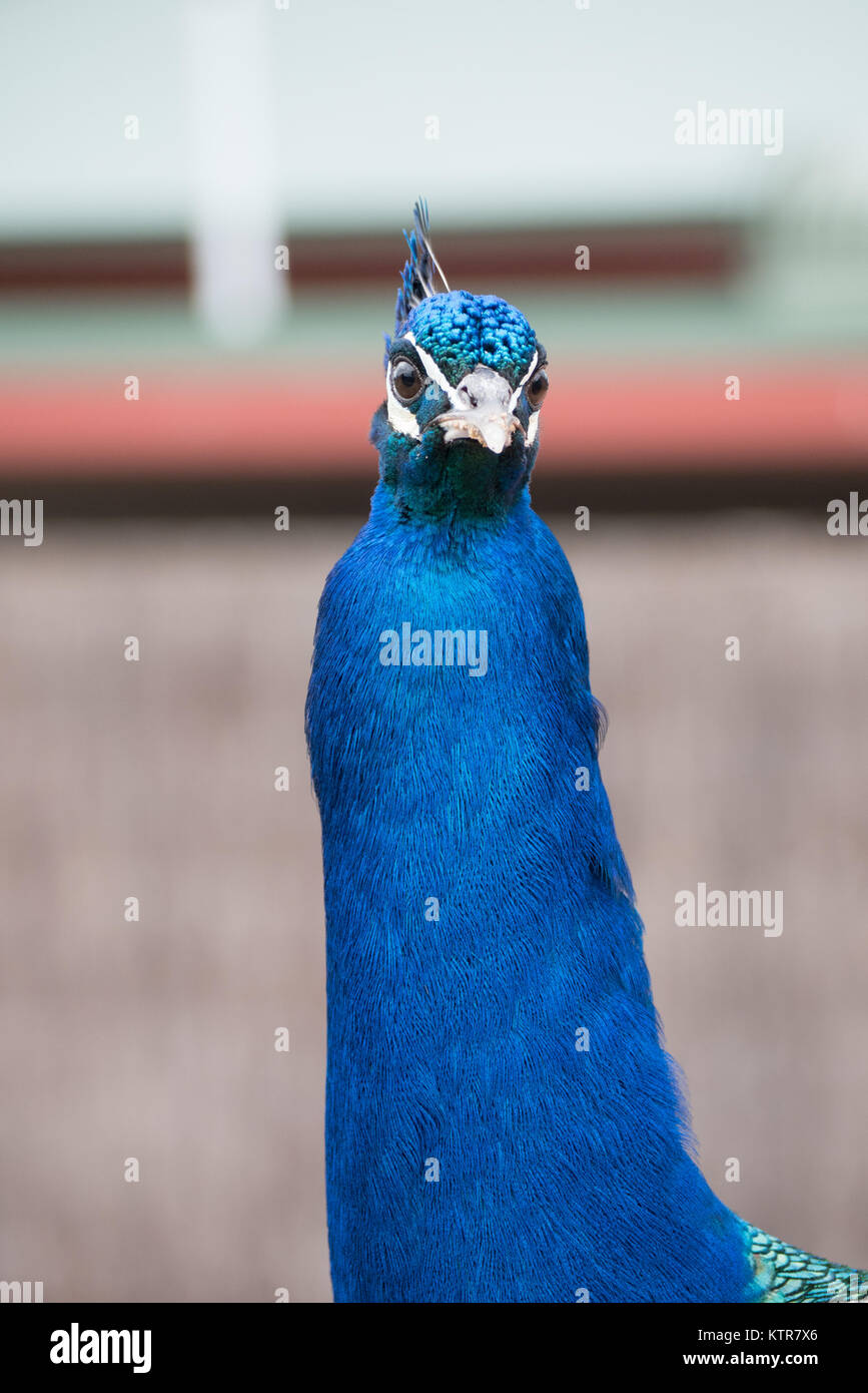 peacock in an australian zoo Stock Photo