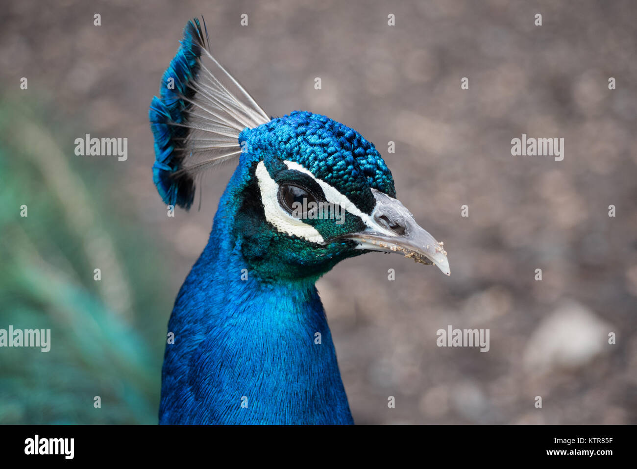 peacock in an australian zoo - Stock Image