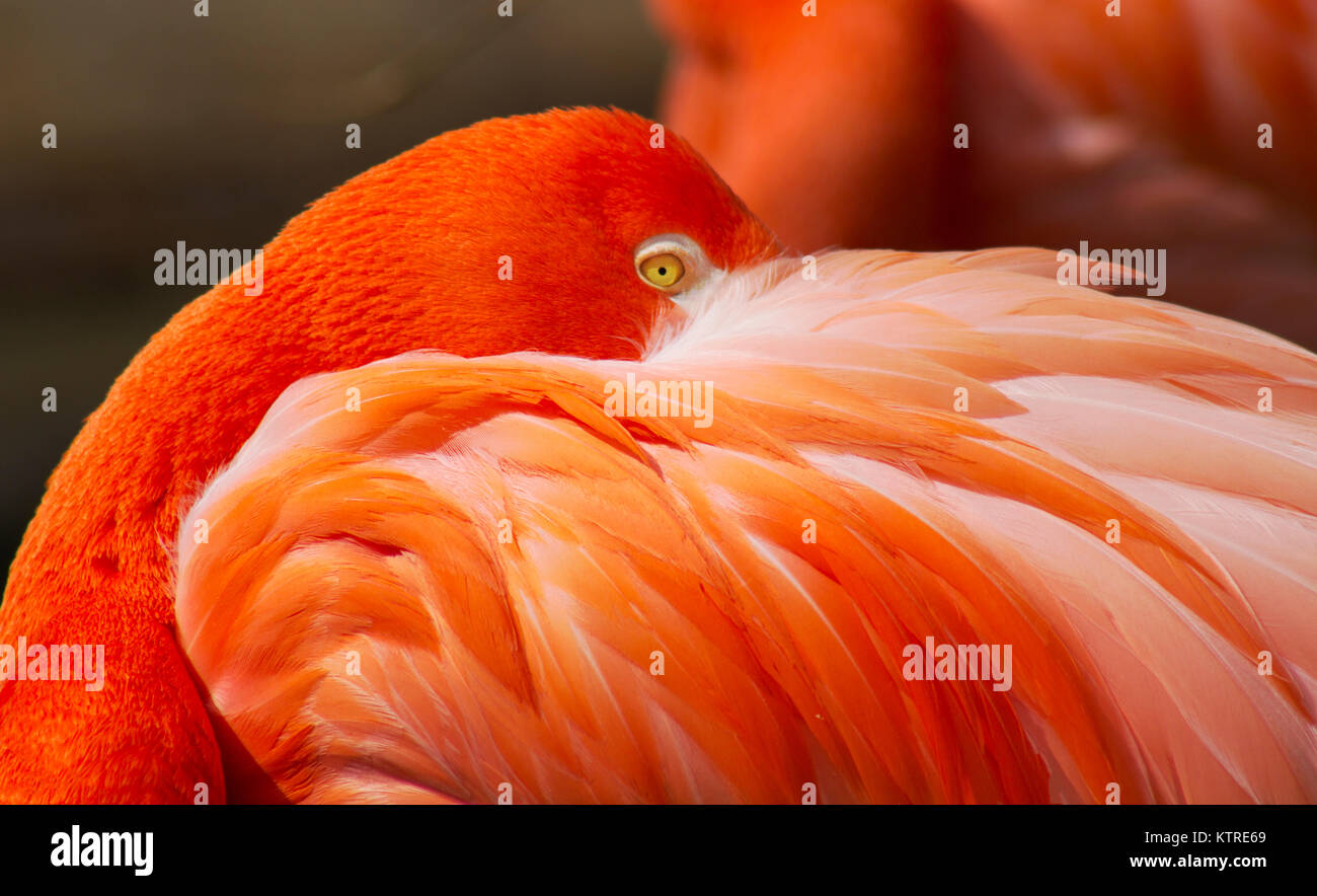 Flamingo hiding its face behind feathers - Stock Image