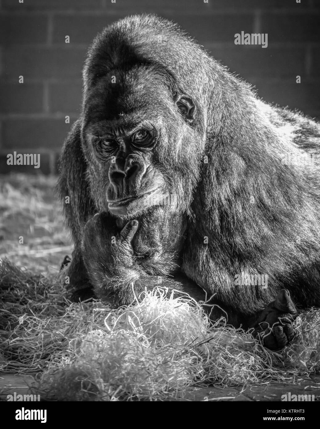 Western Lowland Gorillas - Stock Image