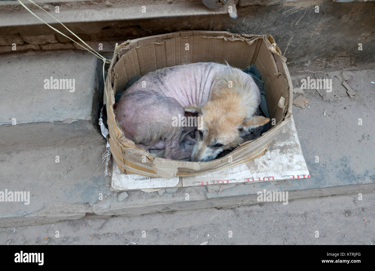 Hairless street dog sleeping in old cardboard box in Kathmandu, Nepal - Stock Image