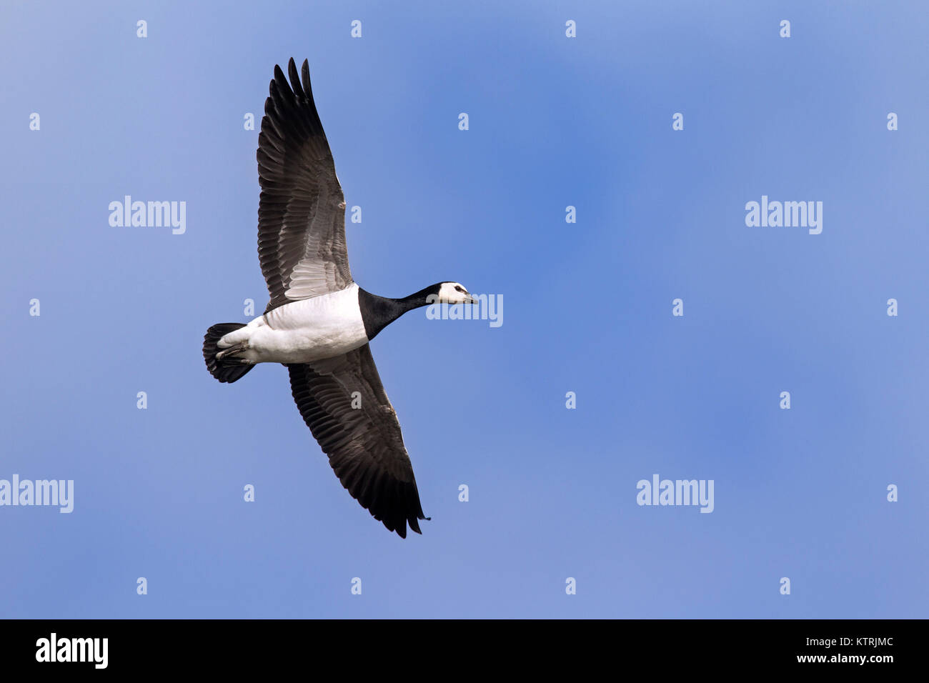 Barnacle goose (Branta leucopsis) in flight against blue sky - Stock Image