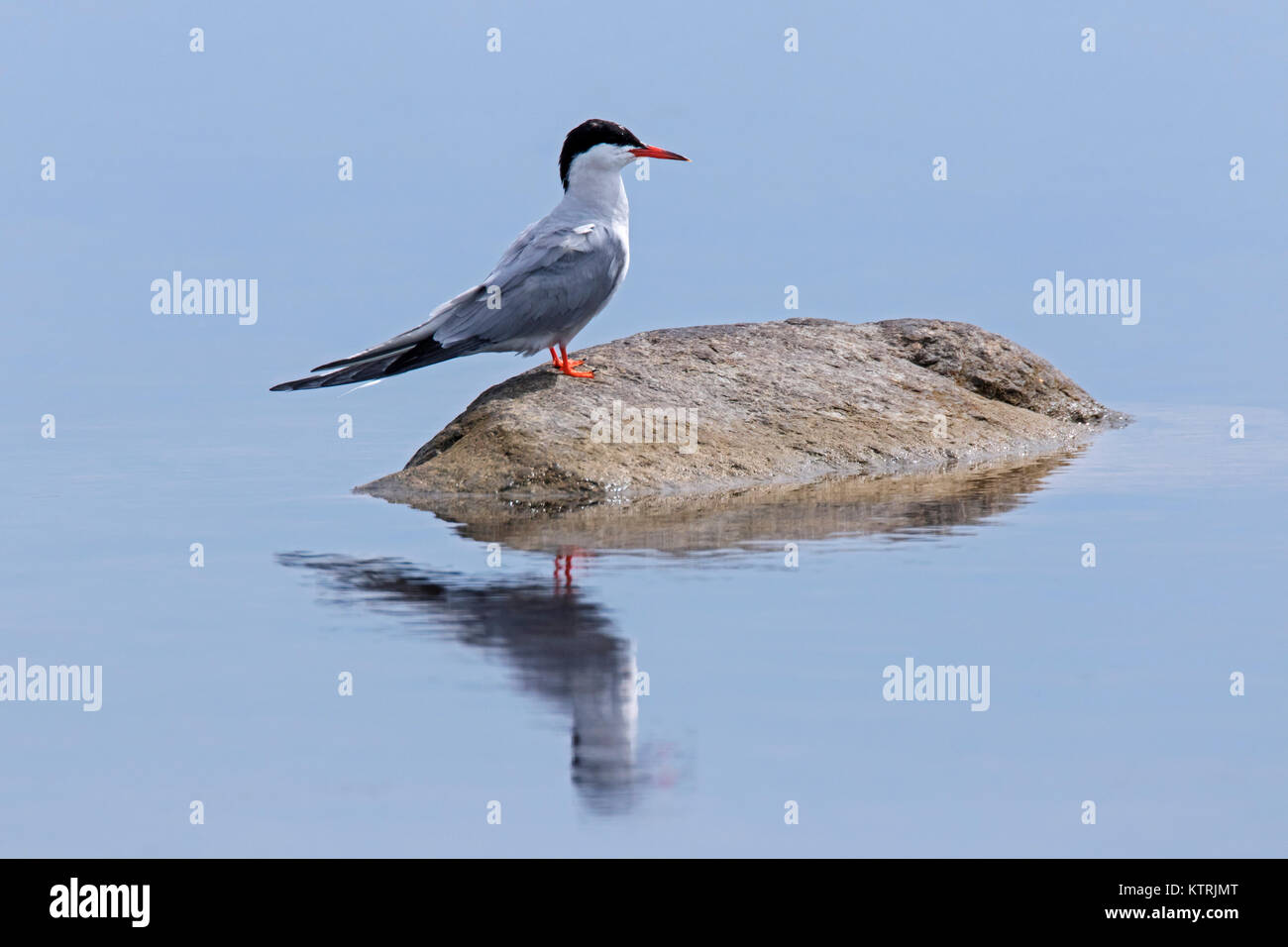 Arctic tern (Sterna paradisaea) in breeding plumage perched on rock in lake in summer - Stock Image