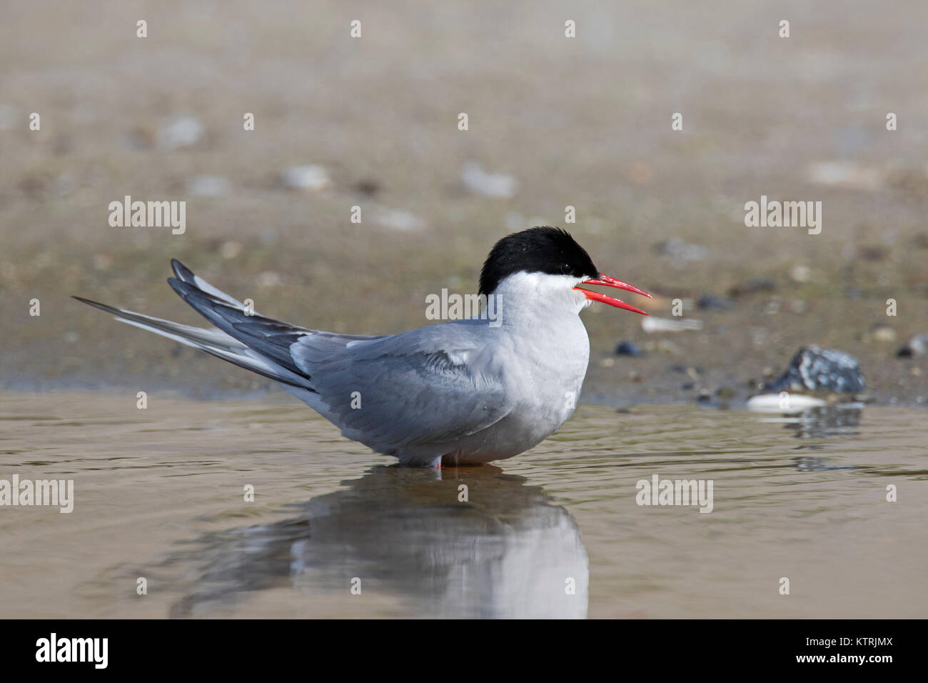 Arctic tern (Sterna paradisaea) in breeding plumage calling from beach in summer - Stock Image