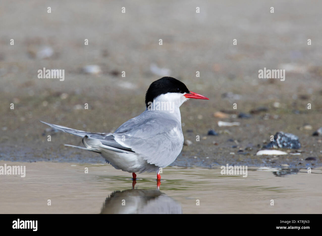 Arctic tern (Sterna paradisaea) in breeding plumage on beach in summer - Stock Image