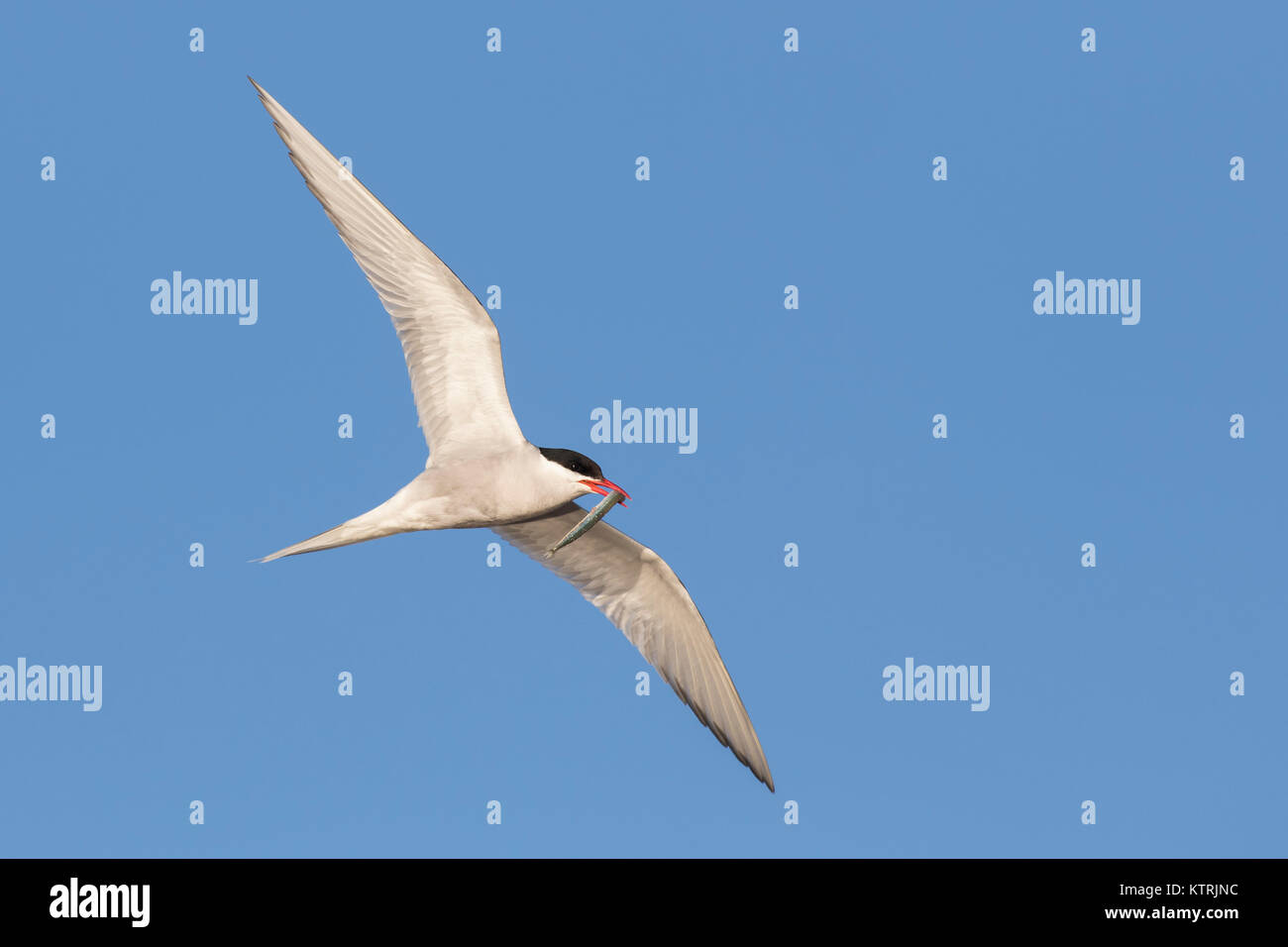 Arctic tern (Sterna paradisaea) with sand eel / sandeel in beak flying against blue sky - Stock Image