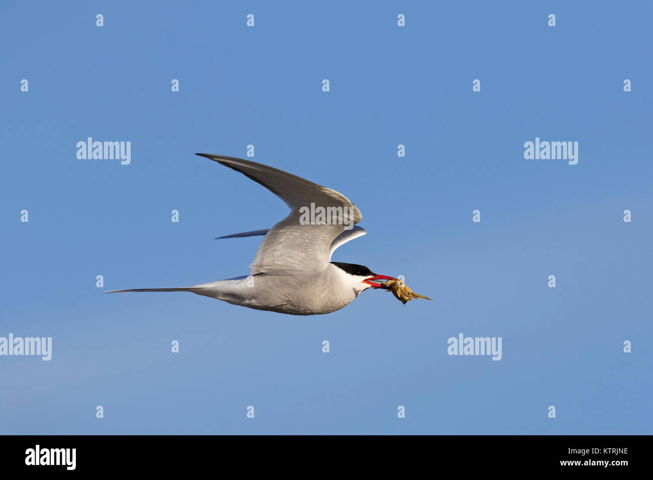 Arctic tern (Sterna paradisaea) with little crab in beak flying against blue sky - Stock Image