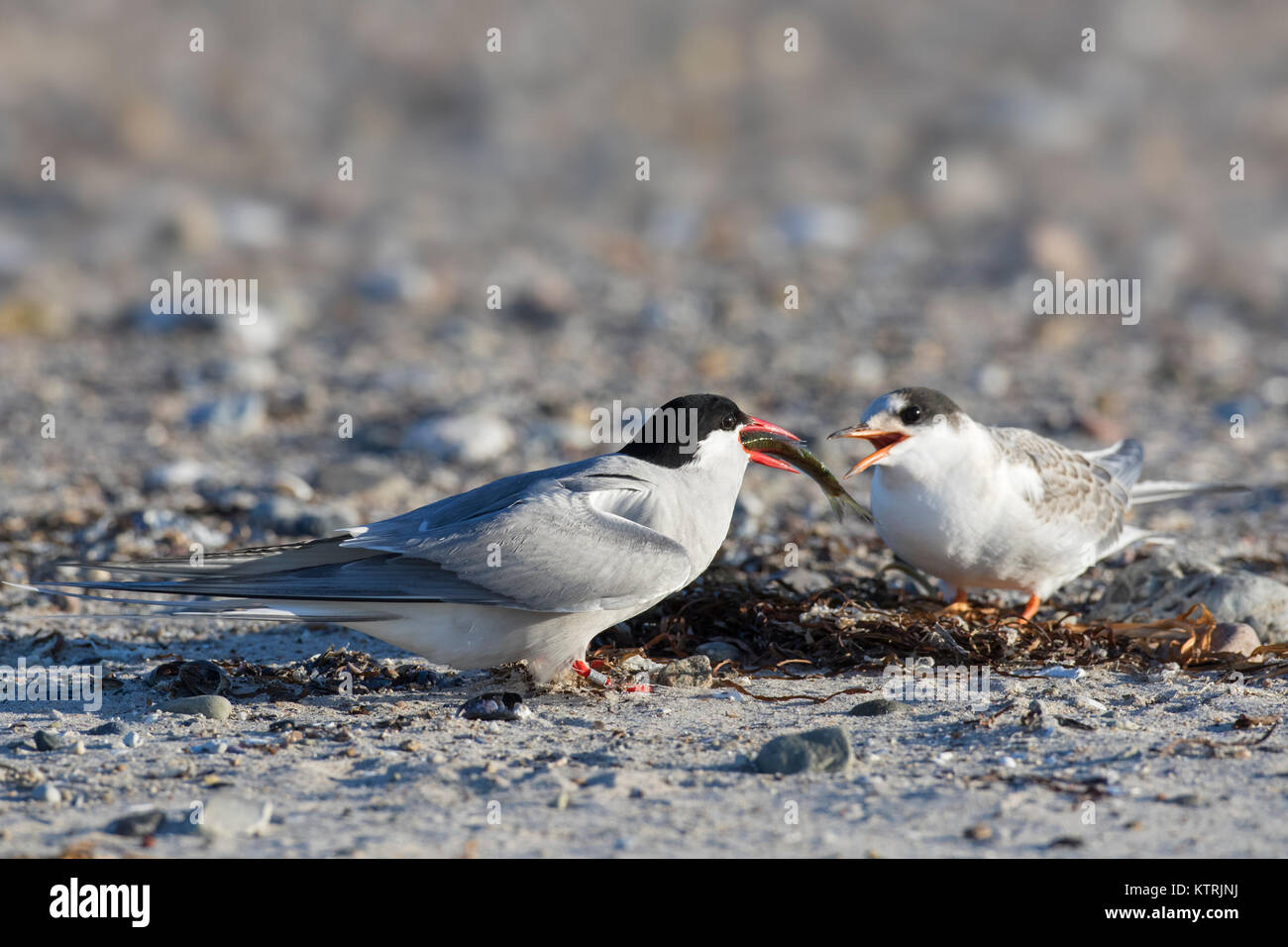 Arctic tern (Sterna paradisaea) feeding fish to chick on beach in summer - Stock Image