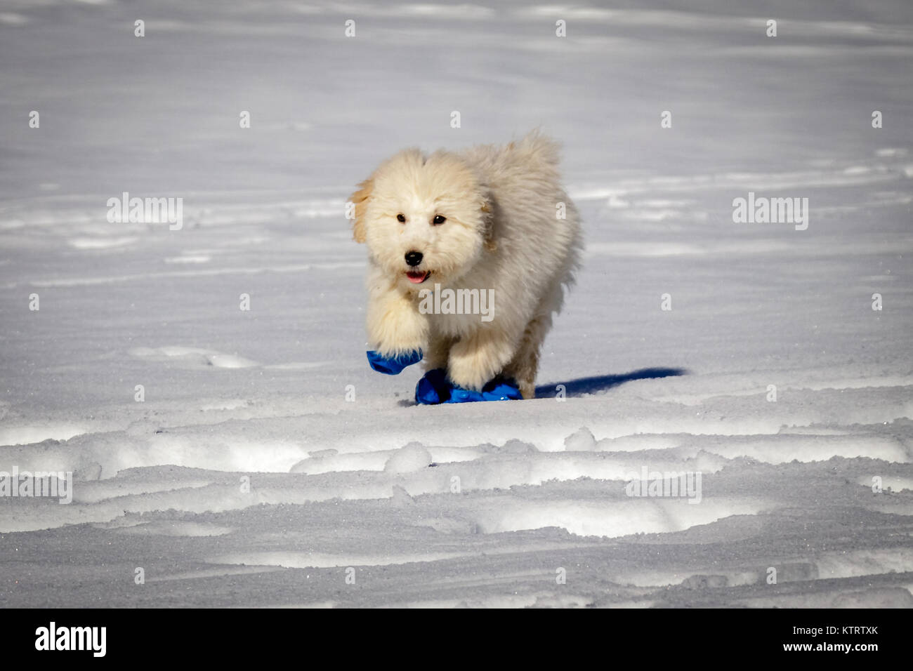 An Extremely Cute Baby Golden Doodle Running Around On Snow Wearing Stock Photo Alamy