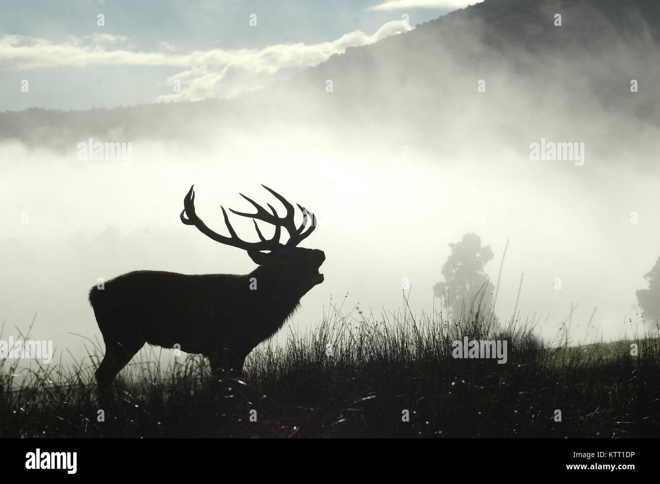 13 point red deer stag roaring in the morning fog, West Coast, South Island, New Zealand - Stock Image