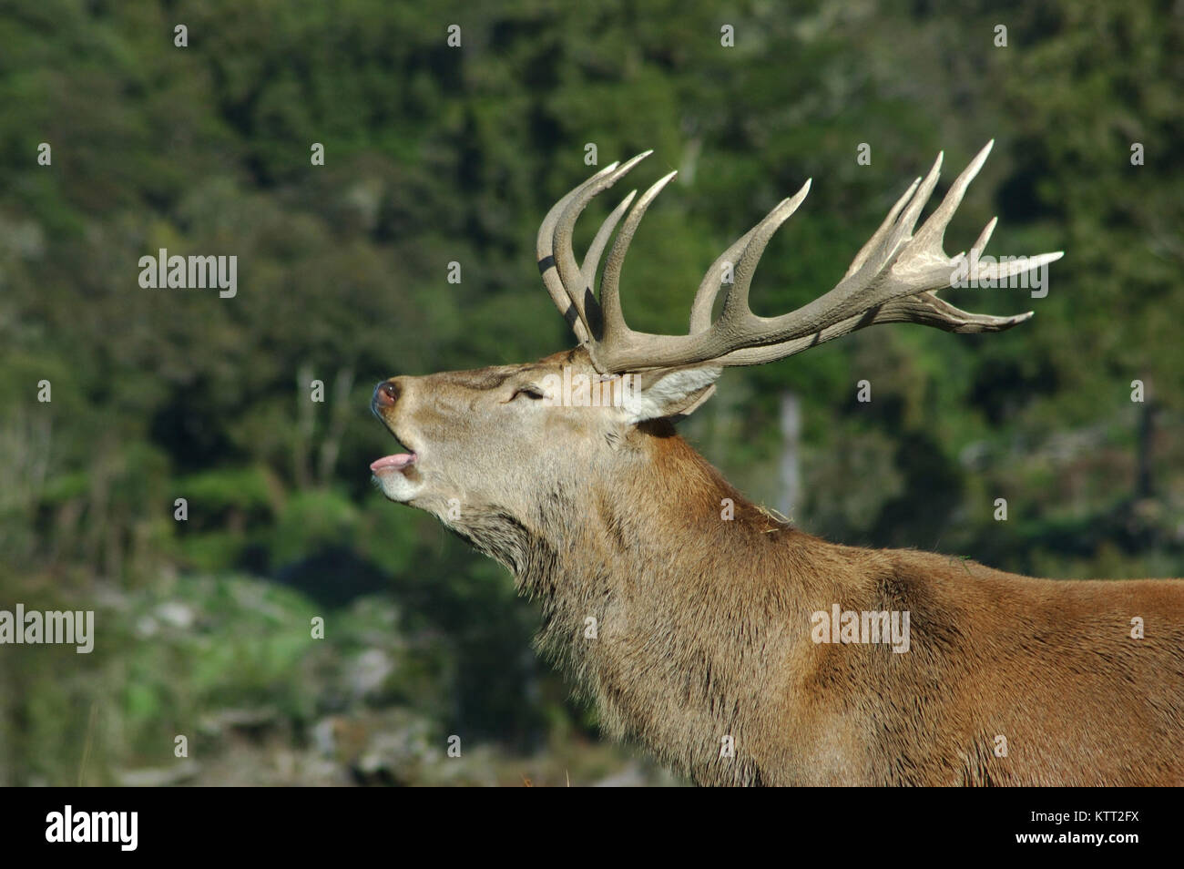 Red deer stag, Cervus elephus, roaring during the rut, West Coast, South Island, New Zealand - Stock Image
