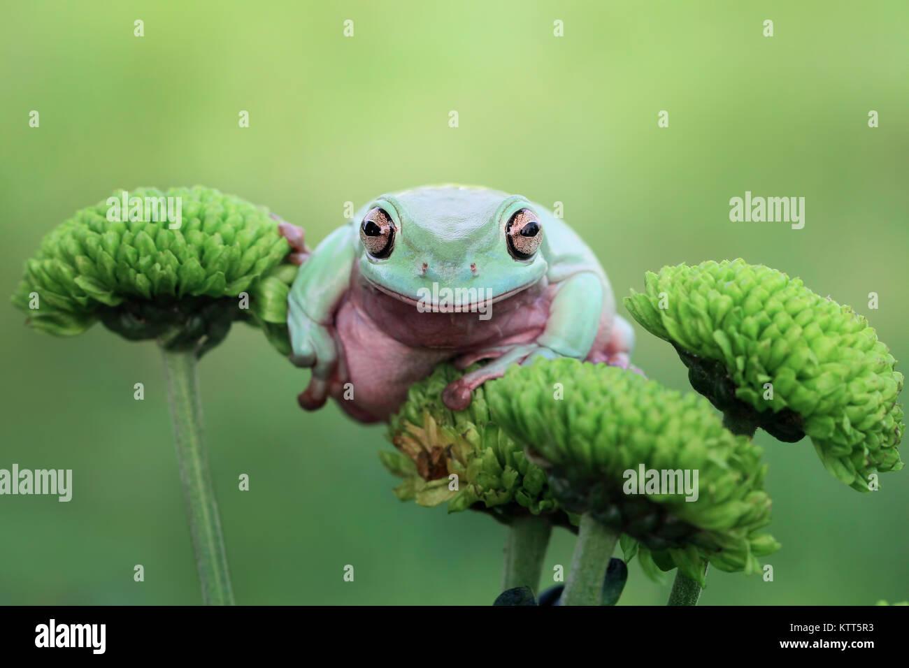 Dumpy tree frog on a flower - Stock Image