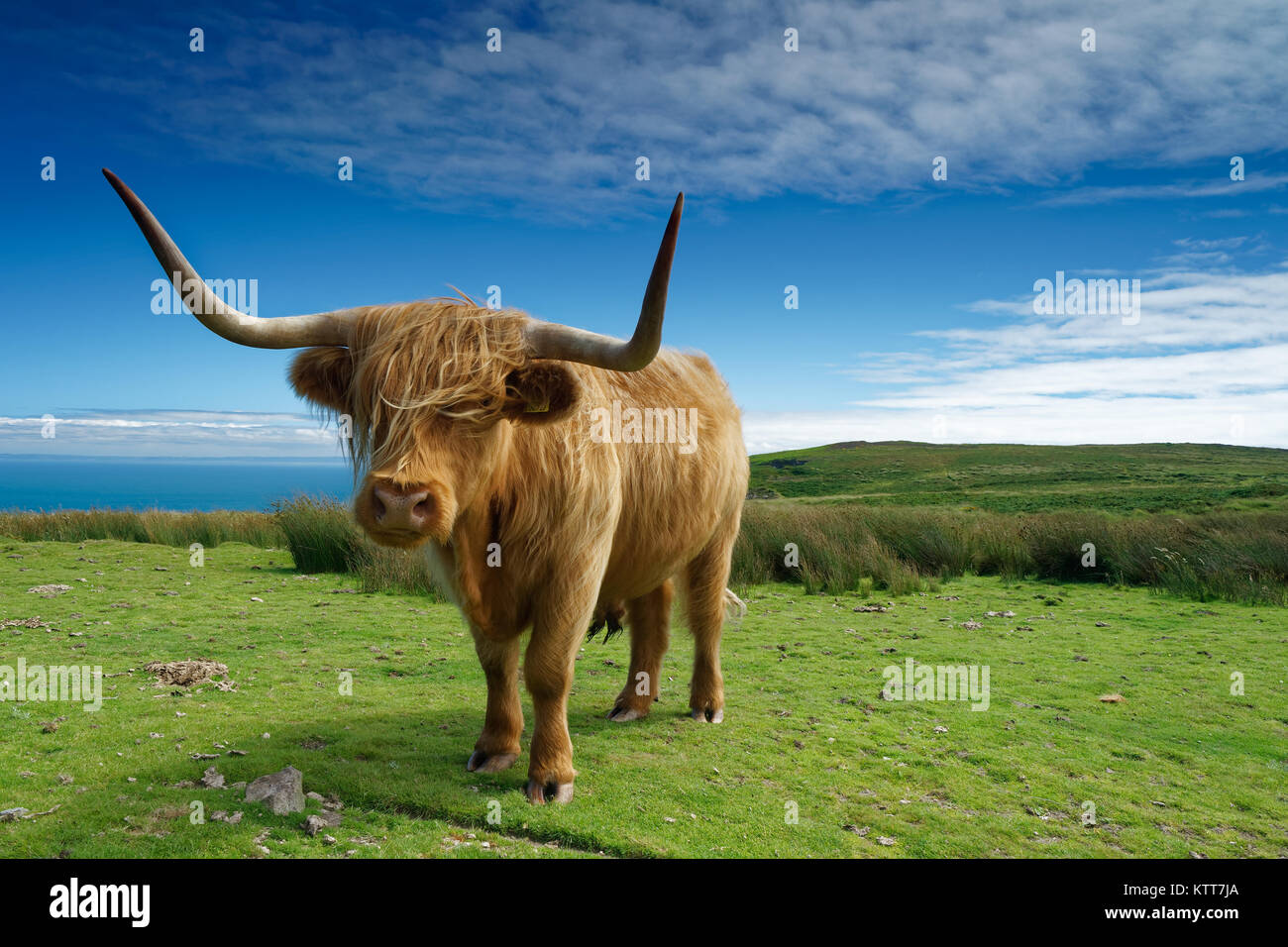 A Longhorn bull enjoys the sunshine on the small windswept island of Lundy off the coast of North Devon. - Stock Image