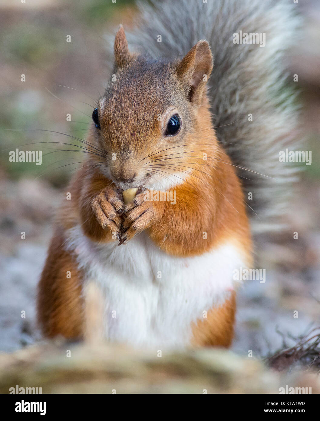 A Red Squirrel at Pow Hill, County Durham United Kingdom eating a nut - Stock Image