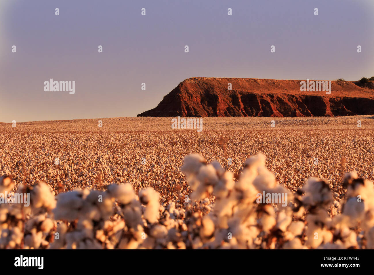 A Plateau in Fairview, Oklahoma surrounded by a fluffy field of cotton 2017 Stock Photo