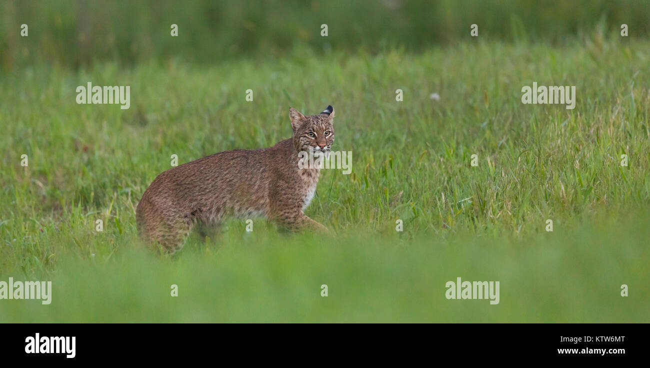 An elusive bobcat in a northern Wisconsin meadow. - Stock Image