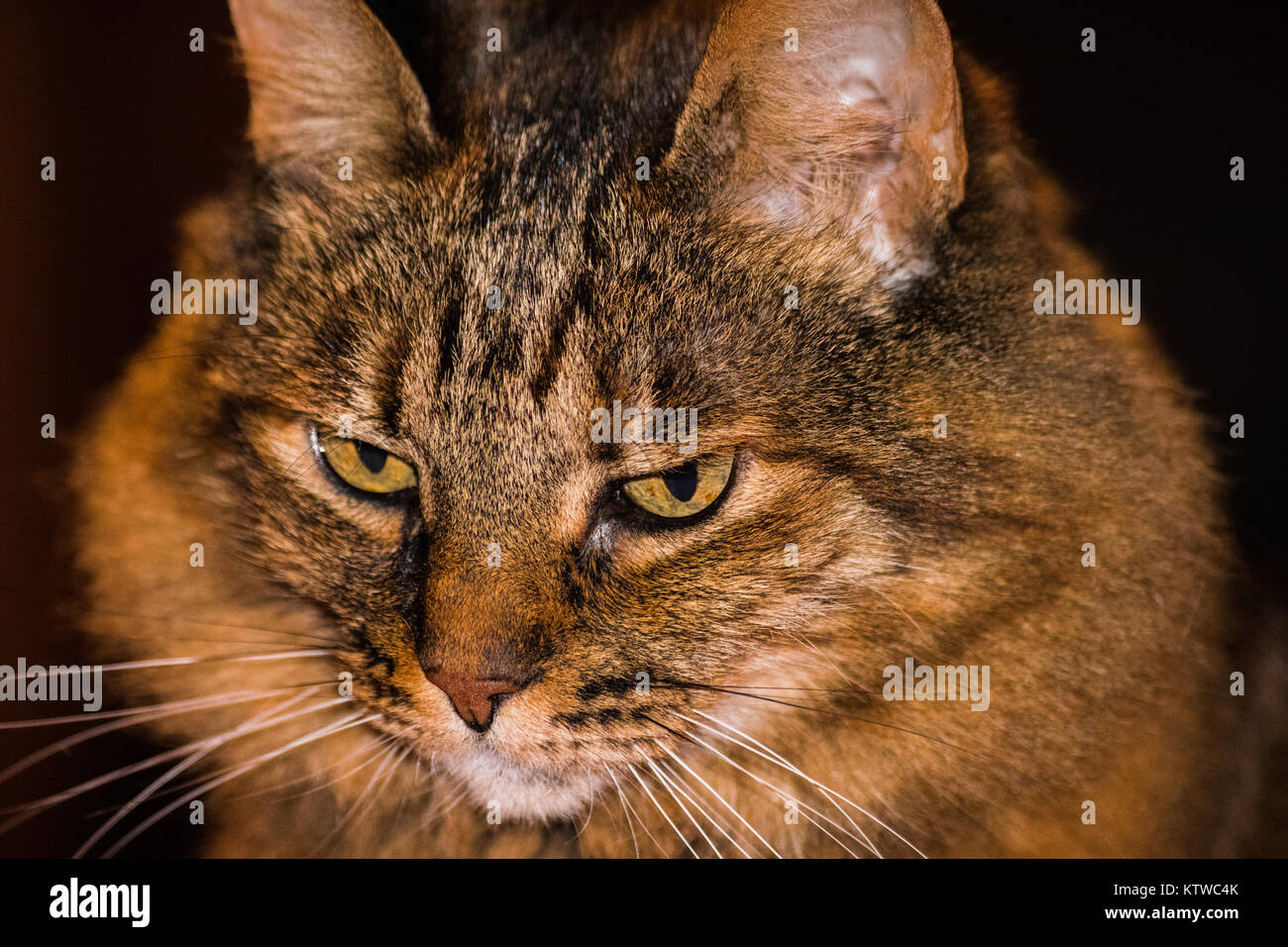 Nordic cat with long hair and a very intense look - Stock Image