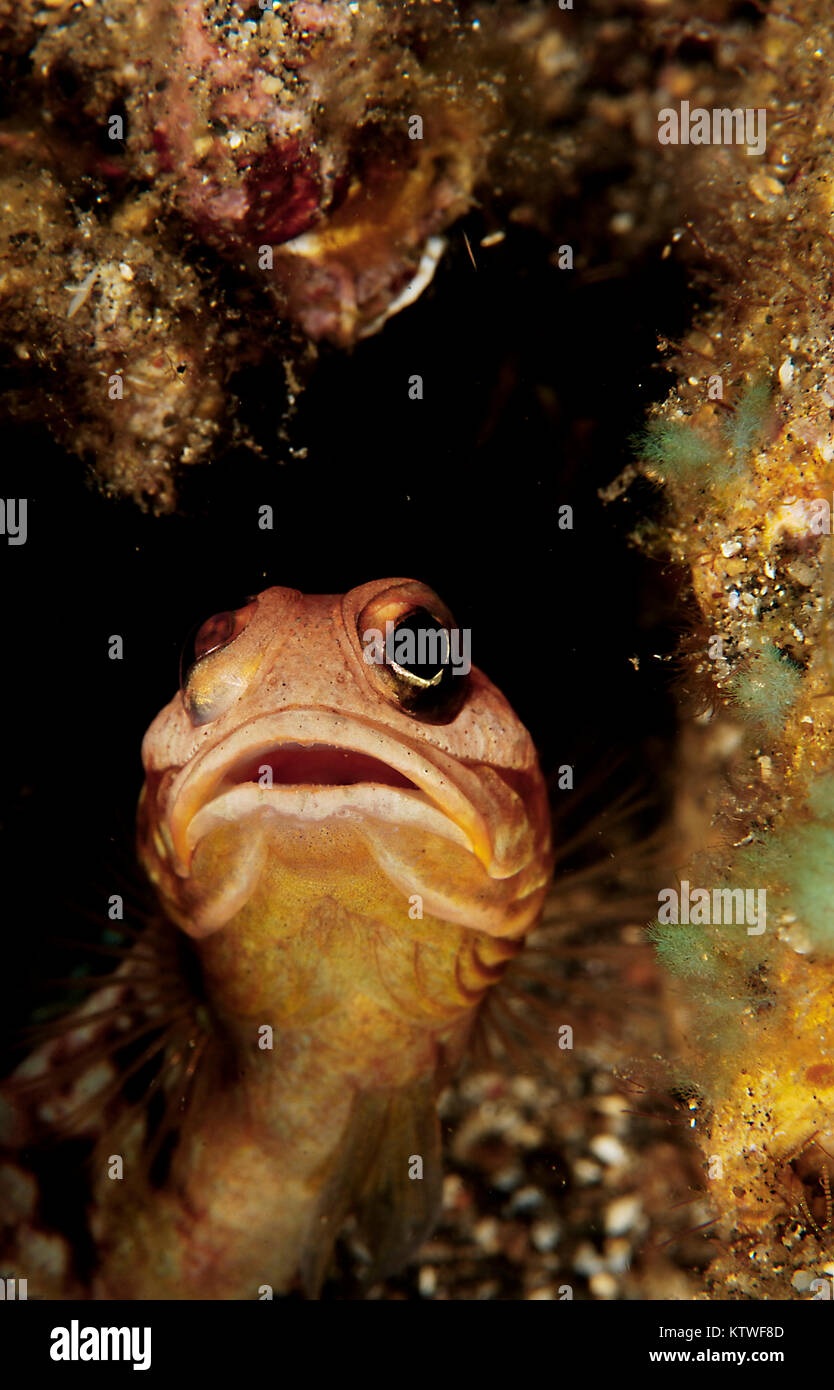 A JAWFISH (OPISTOGNATHUS SP.) PEEKING OUT OF HIS HOLE - Stock Image
