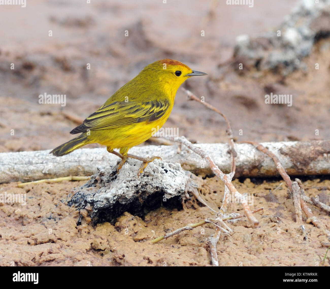 The yellow warbler (Setophaga petechia, Dendroica petechia) foraging by a shallow lagoon. Puerto Villamil, Isabela, - Stock Image