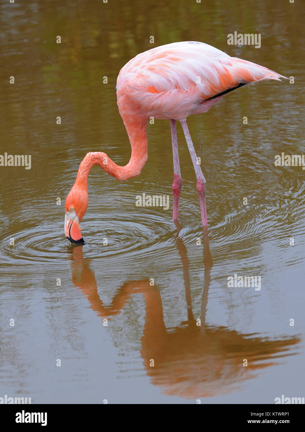An American flamingo (Phoenicopterus ruber) feeding in a lagoon near Puerto Villamil. Puerto Villamil, Isabela, Stock Photo