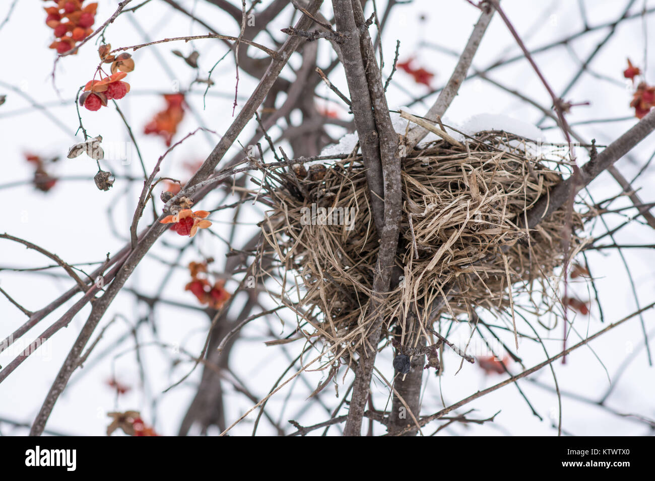 birds nest covered in snow in the winter with red berries surounding it in a bush. - Stock Image