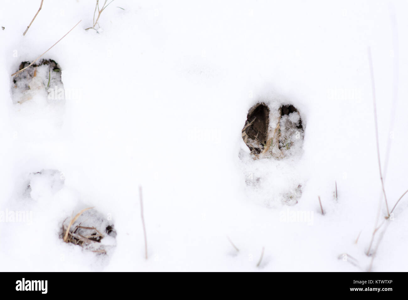 fresh whitetail deer tracks in the bright white snow. - Stock Image