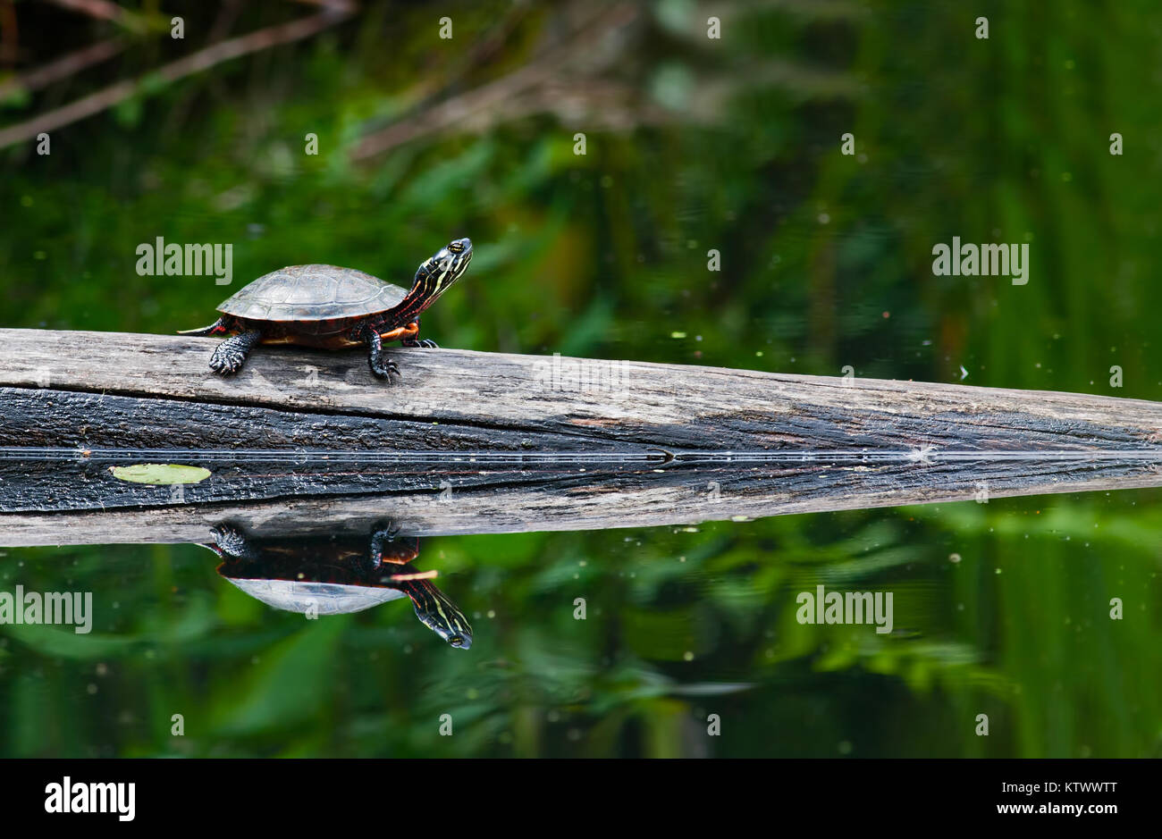 A painted turtle on a log in a pond. A mirrored reflection is seen in the water. - Stock Image