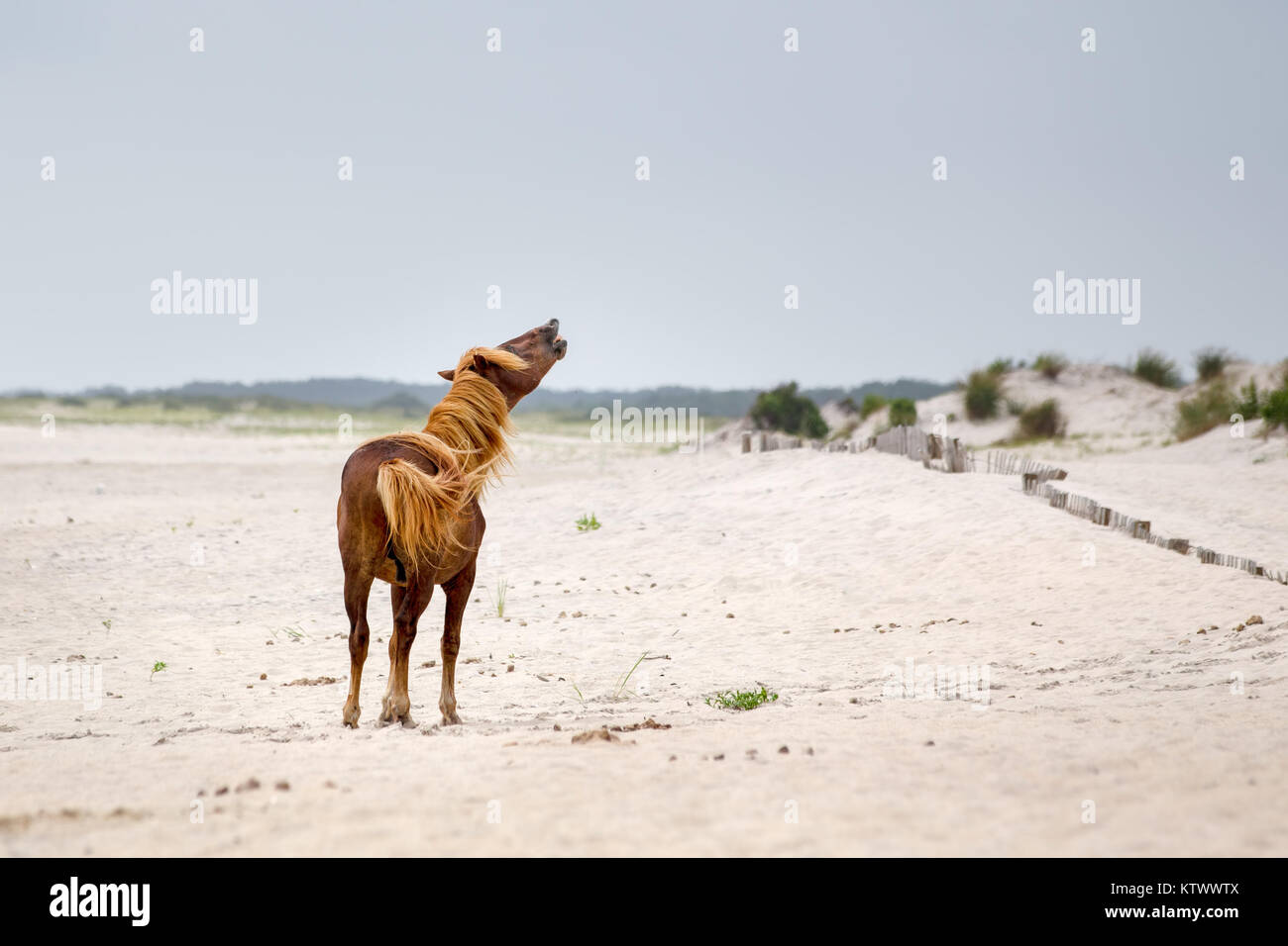 A Wild pony, horse, of Assateague Island, Maryland, USA on the beach. These animals are also known as Assateague - Stock Image