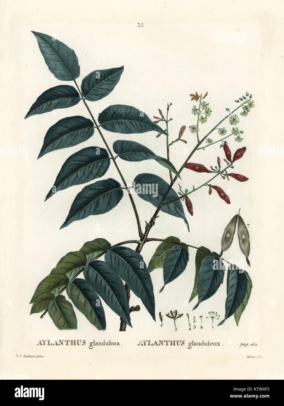 Tree of heaven, ailanthus or chouchun, Ailanthus altissima (Aylanthus glandulosa). Handcoloured stipple engraving - Stock Image