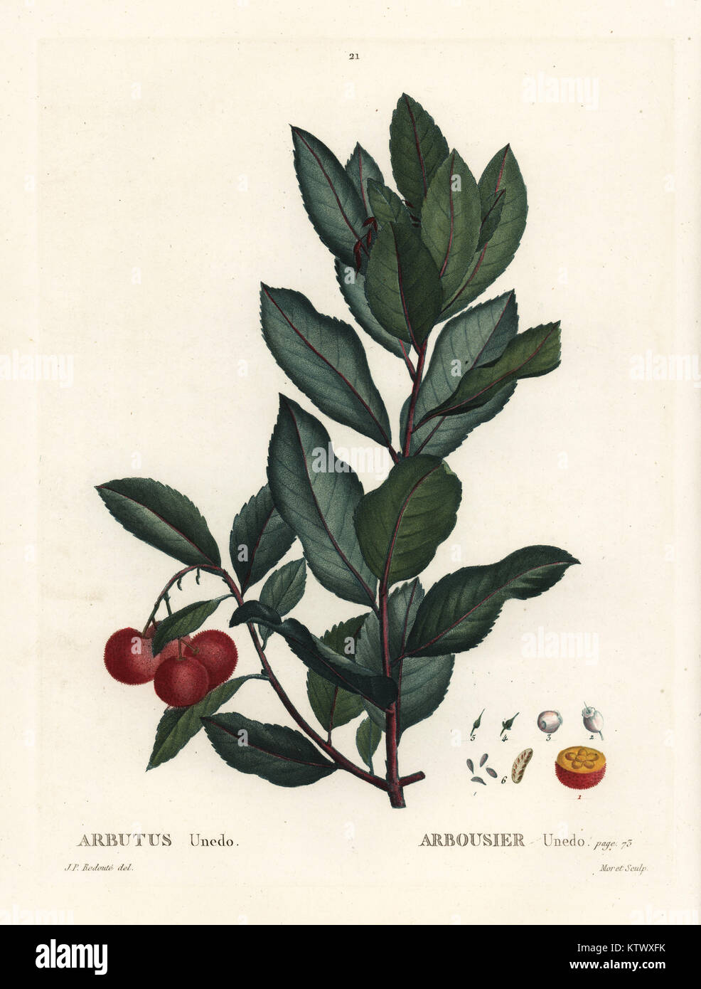 Strawberry tree, Arbutus unedo. Handcoloured stipple engraving by  after an illustration by Pierre-Joseph Redoute - Stock Image