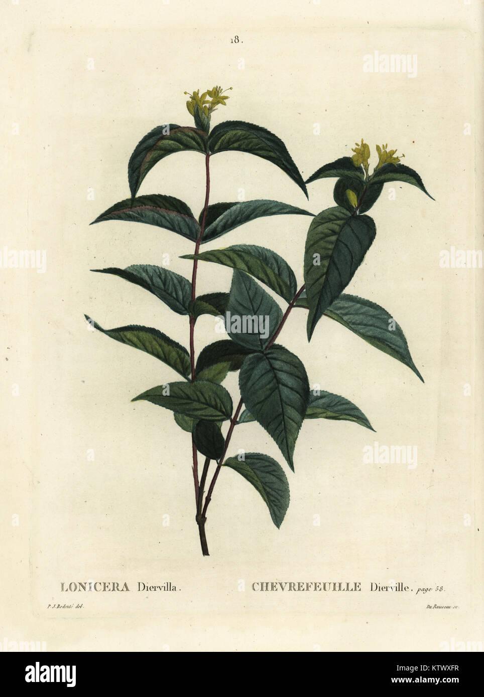 Northern bush honeysuckle, Diervilla lonicera (Lonicera diervilla). Handcoloured stipple engraving by Du Ruisseau - Stock Image