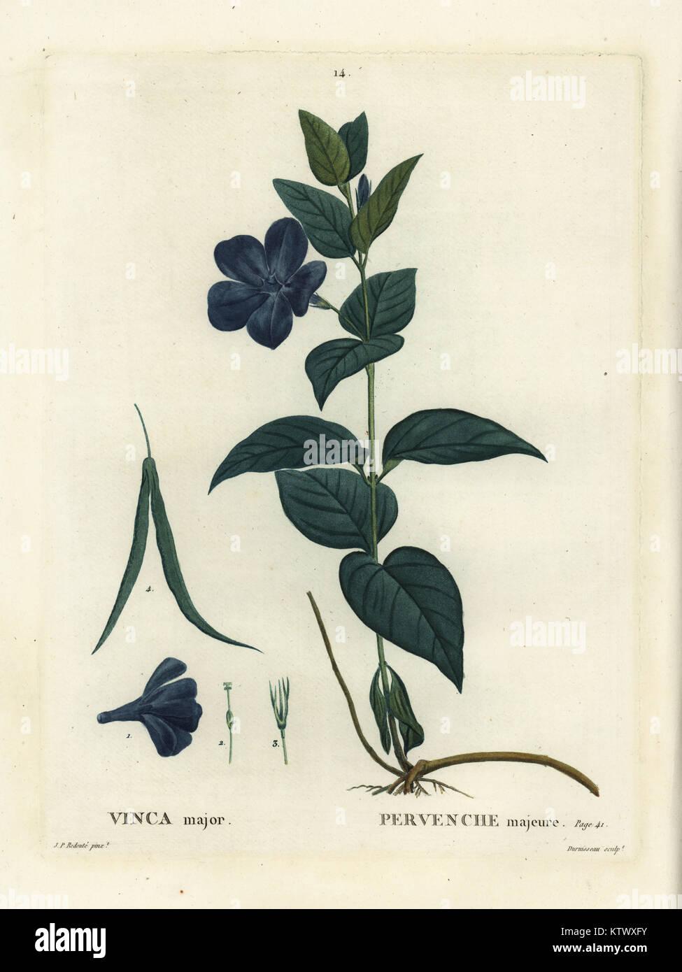 Bigleaf periwinkle, large periwinkle or blue periwinkle, Vinca major. Handcoloured stipple engraving by Duruisseau Stock Photo