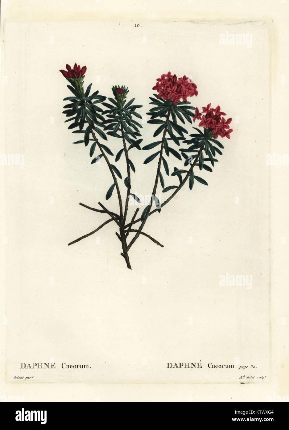 Garland flower or rose daphne, Daphne cneorum. Handcoloured stipple engraving by  Mlle. Rolet after an illustration - Stock Image