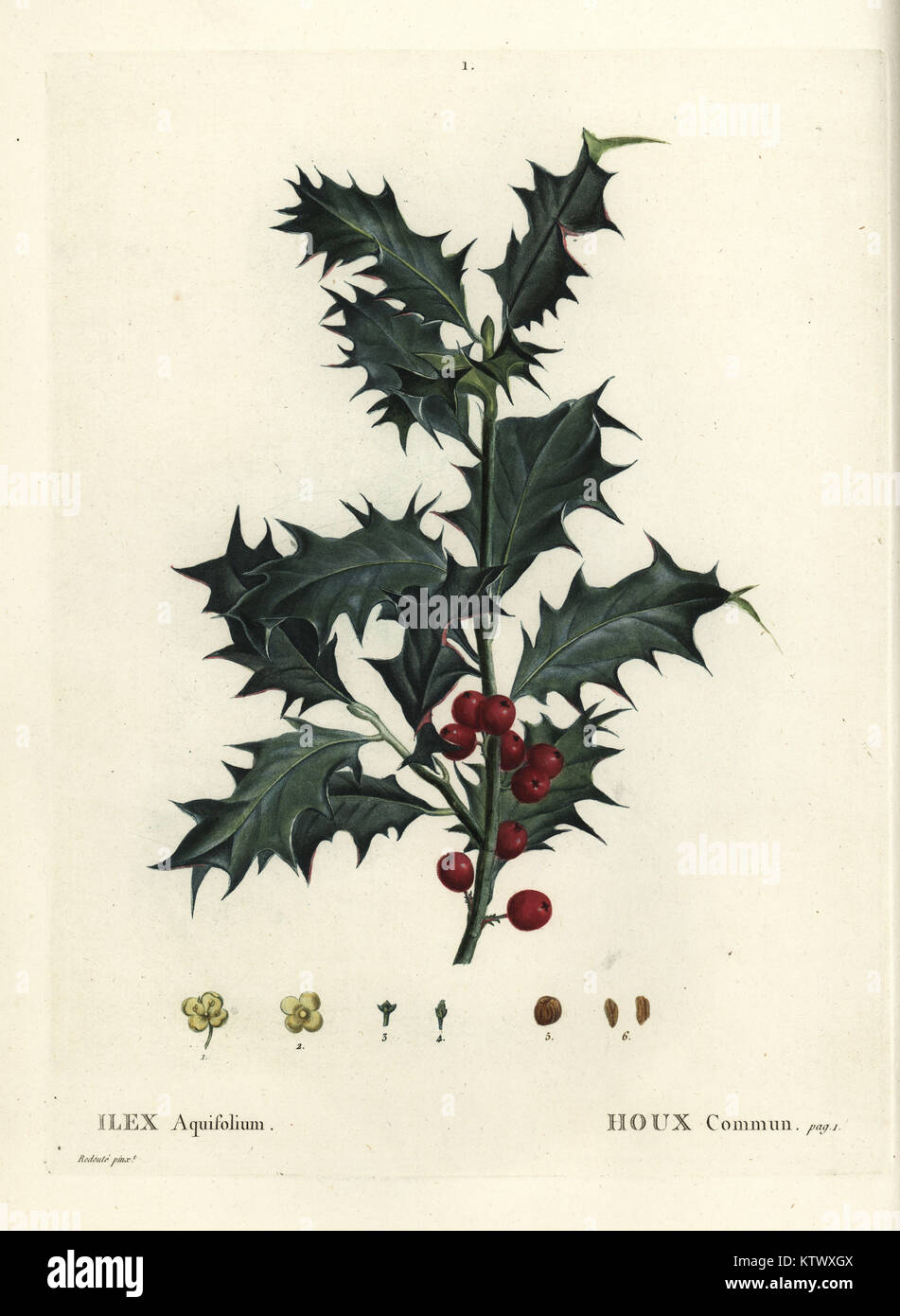 Common holly, Ilex aquifolium. Handcoloured stipple engraving after an illustration by Pierre-Joseph Redoute from Stock Photo