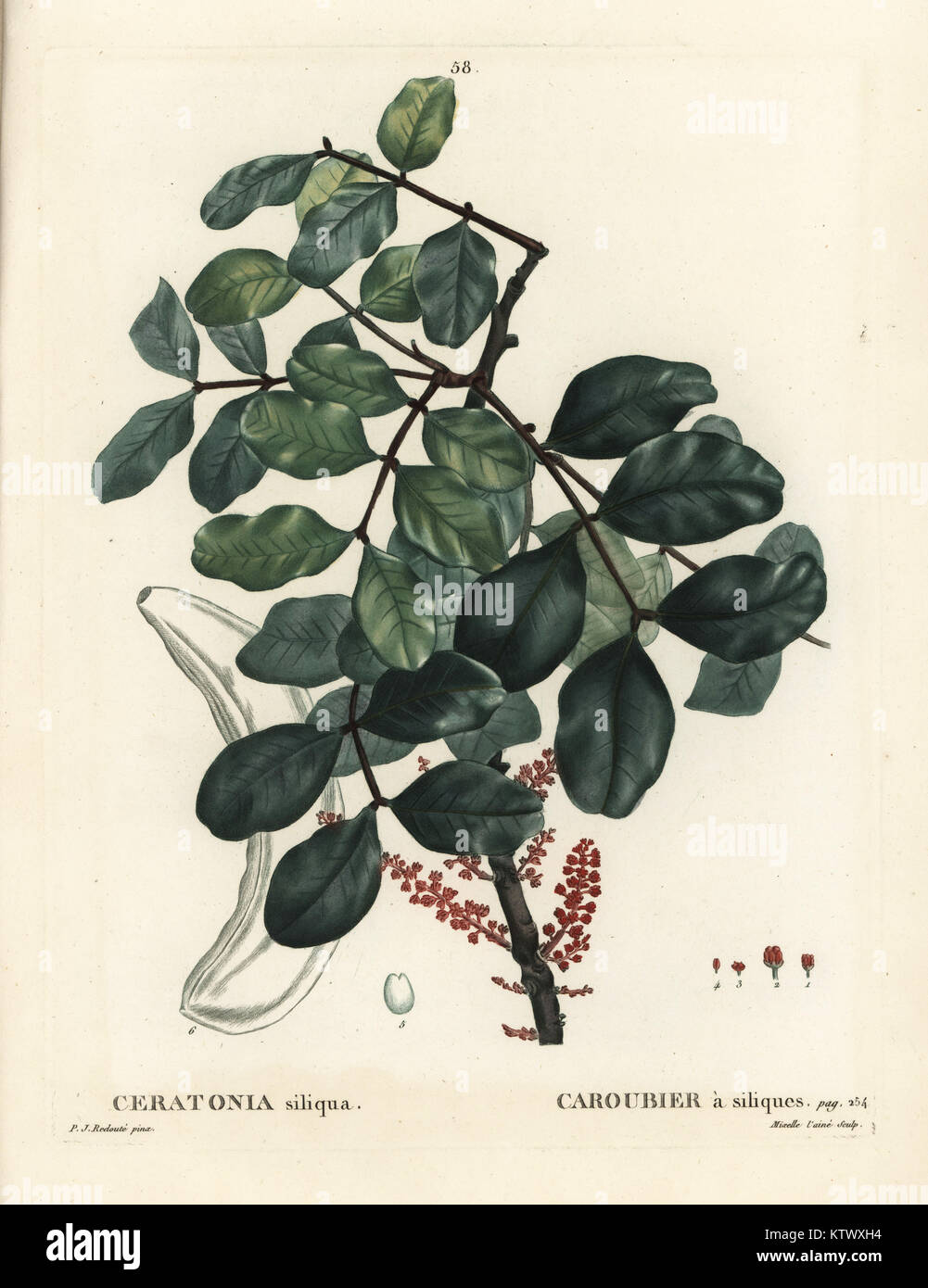 Carob tree or locust bean, Ceratonia siliqua. Handcoloured stipple engraving by Mixelle l'aine after an illustration - Stock Image