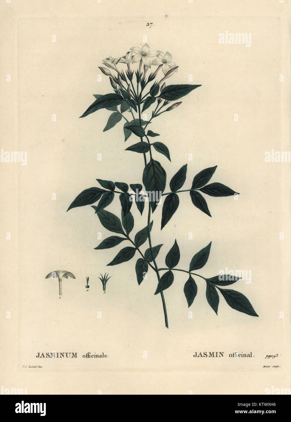 Jasmine, Jasminum officinale. Handcoloured stipple engraving by Moret after an illustration by Pierre-Joseph Redoute - Stock Image