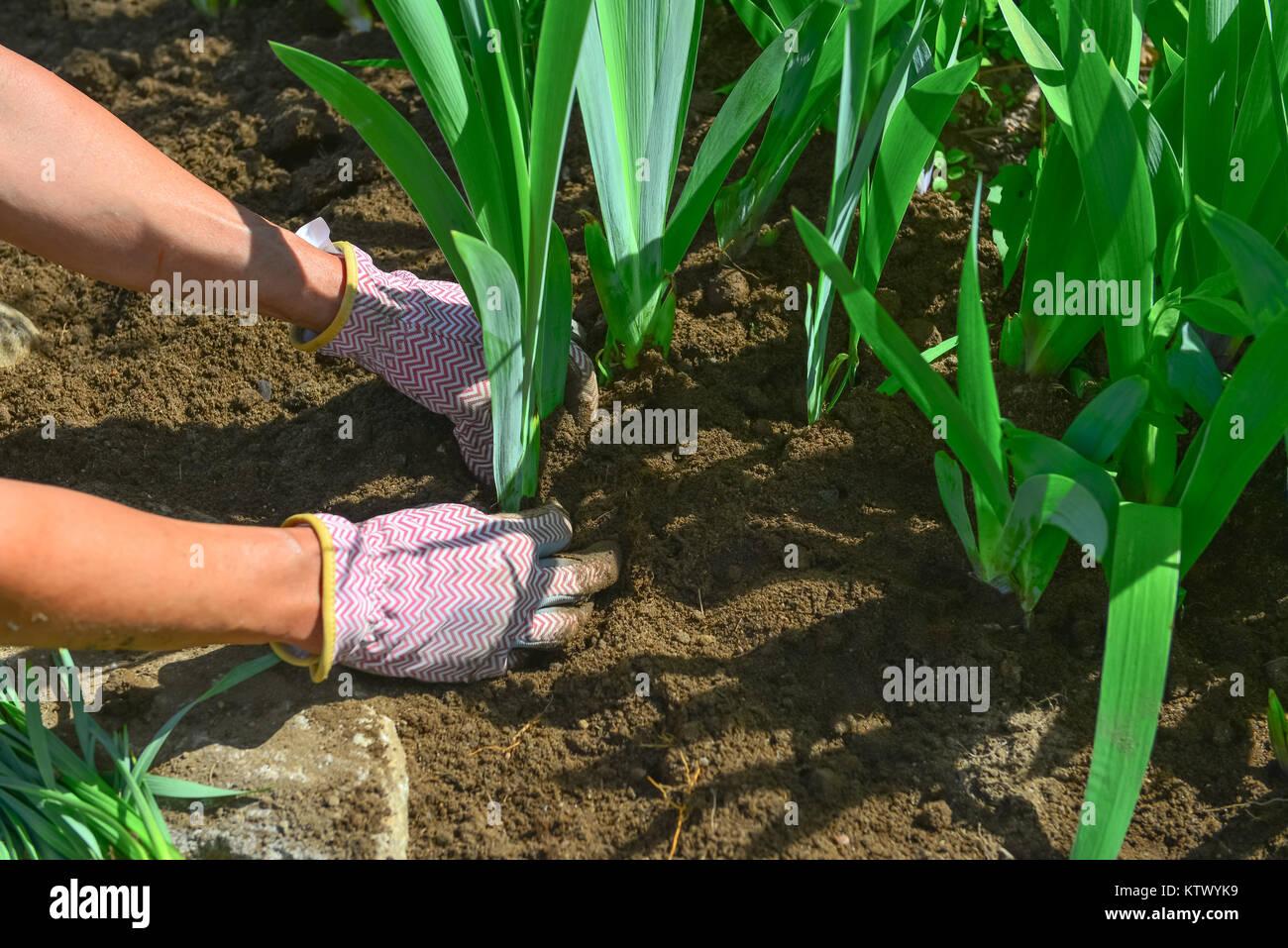 Transplanting Garden Stock Photos & Transplanting Garden Stock ...