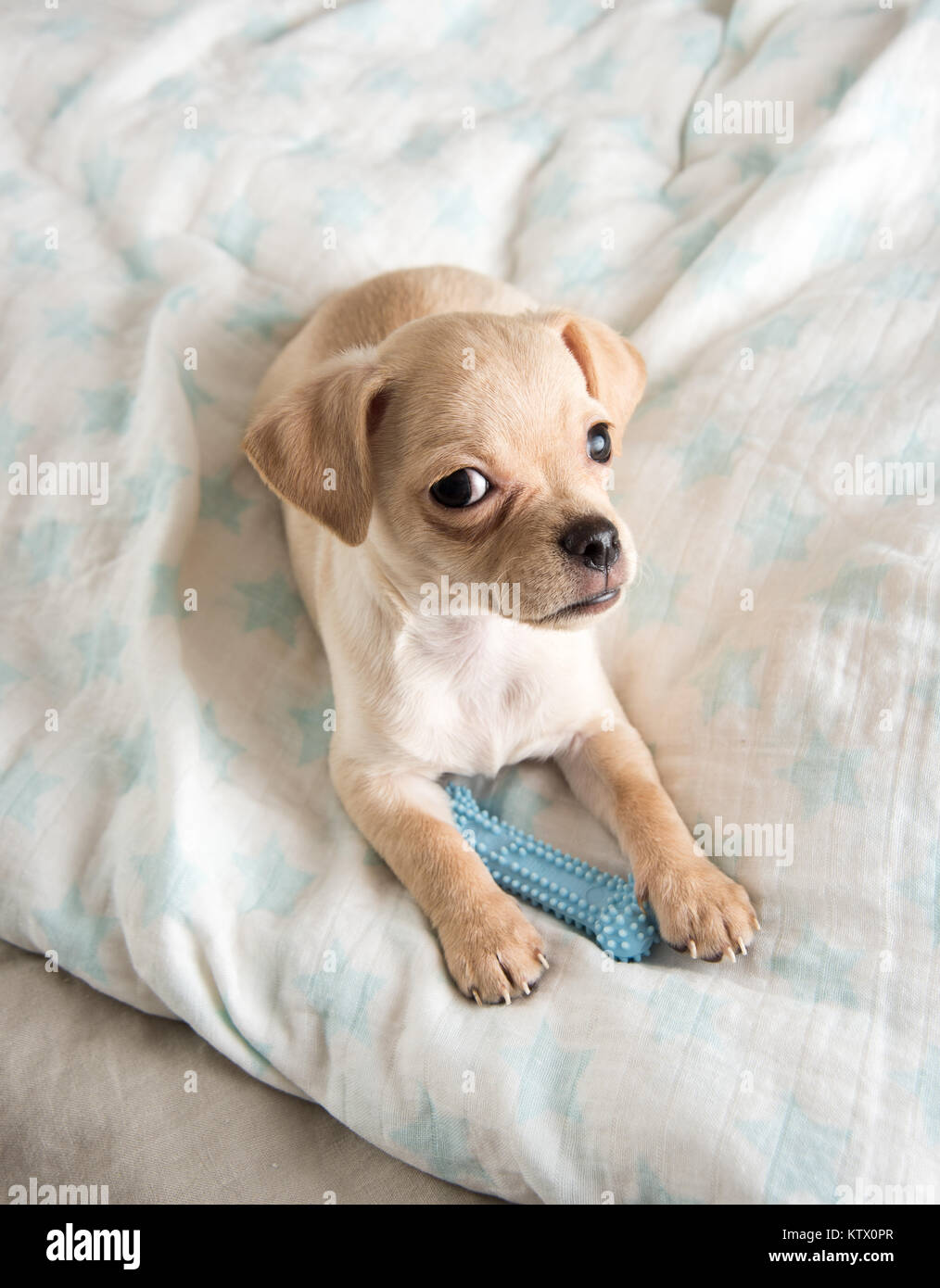 Tiny Chihuahua Puppy Chewing On Rubber Toy Stock Photo Alamy