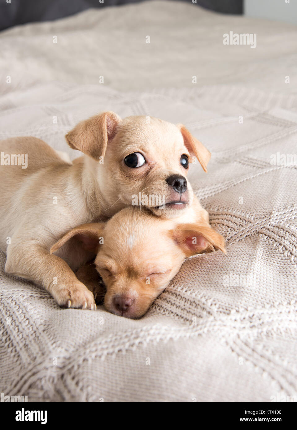 Tiny Chihuahua Puppies Relaxing On Blanket Stock Photo Alamy