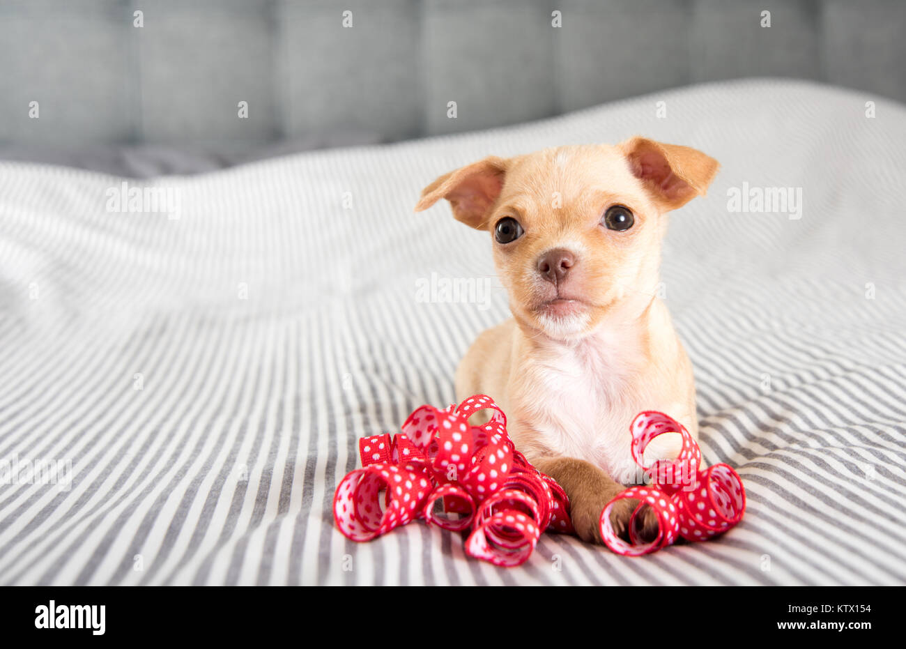 Tiny Chihuahua Puppy Playing With Red Ribbo Stock Photo Alamy