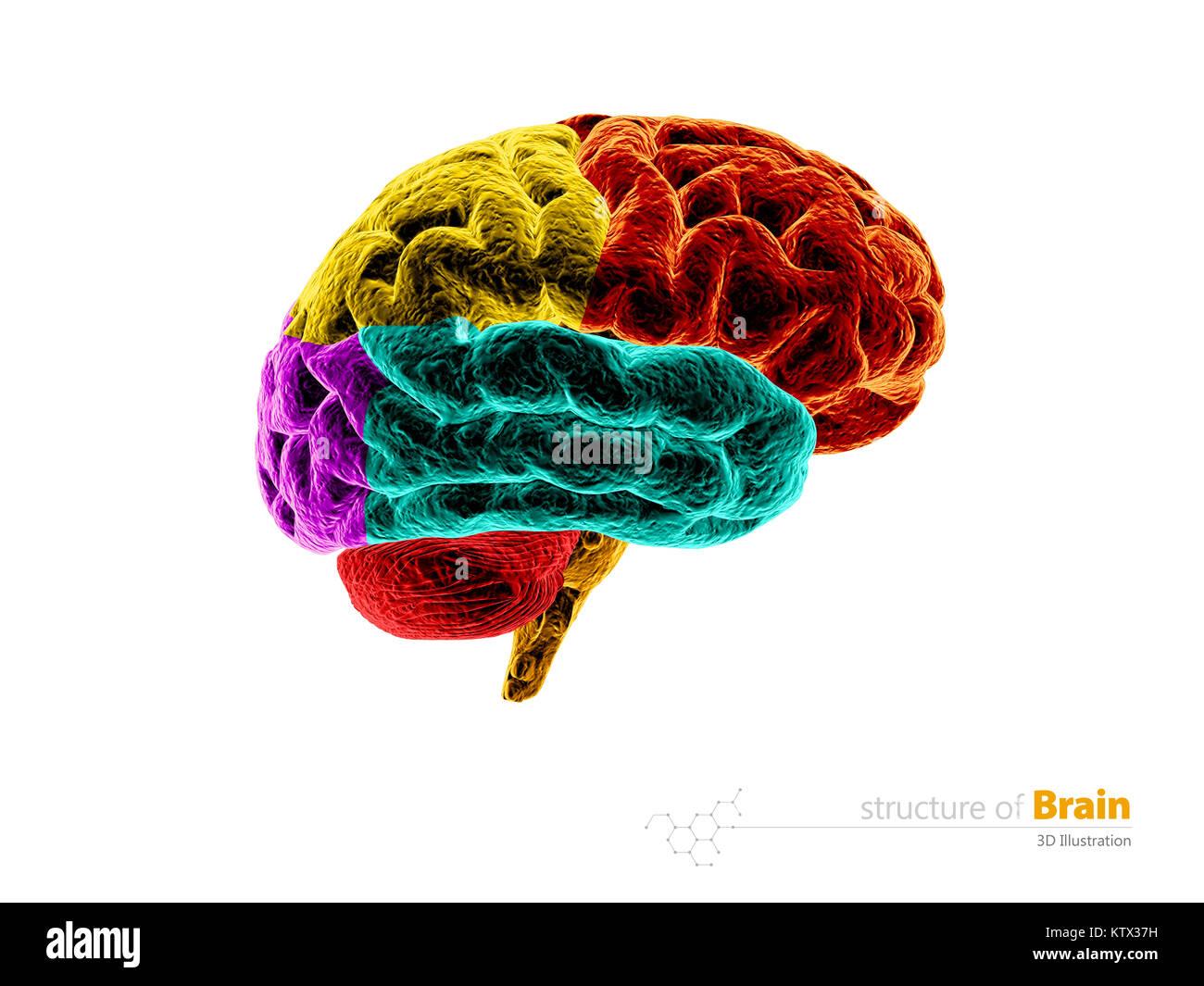 Human Brain Anatomy Structure Human Brain Anatomy 3d Illustration