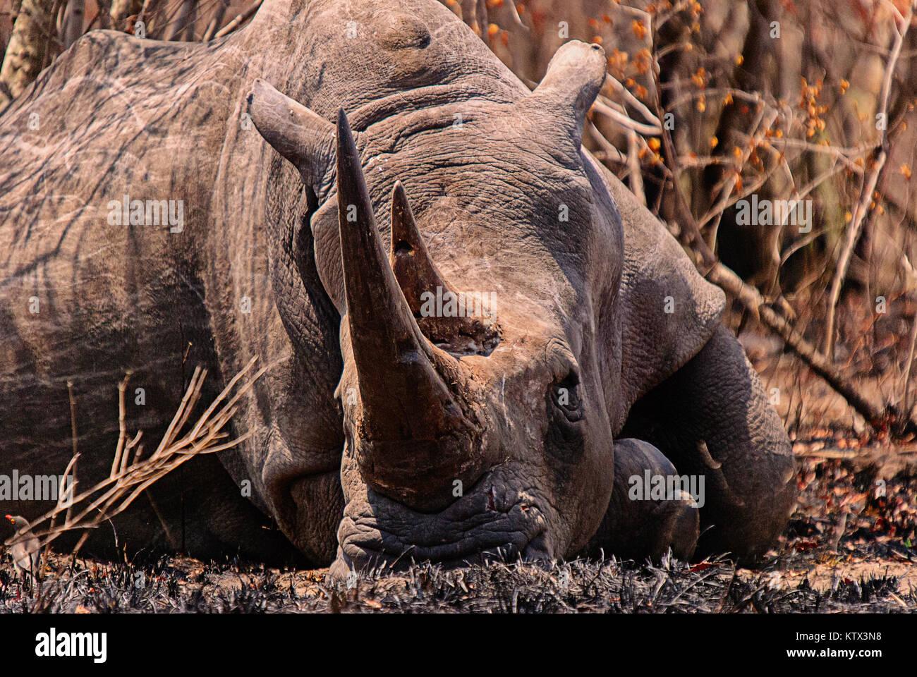 White rhinocerous - Stock Image