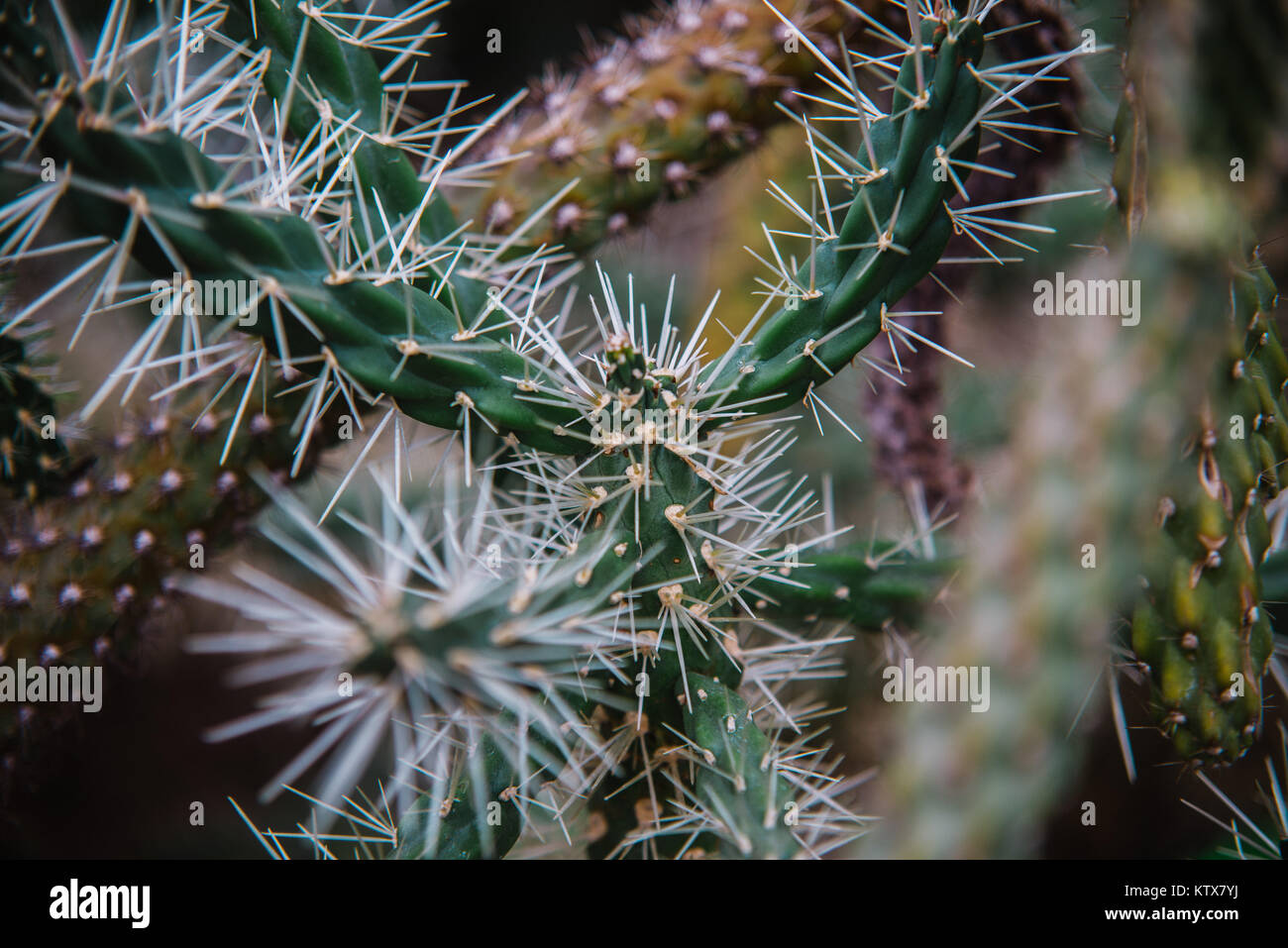 close up on cylindropuntia leaf and plant Stock Photo