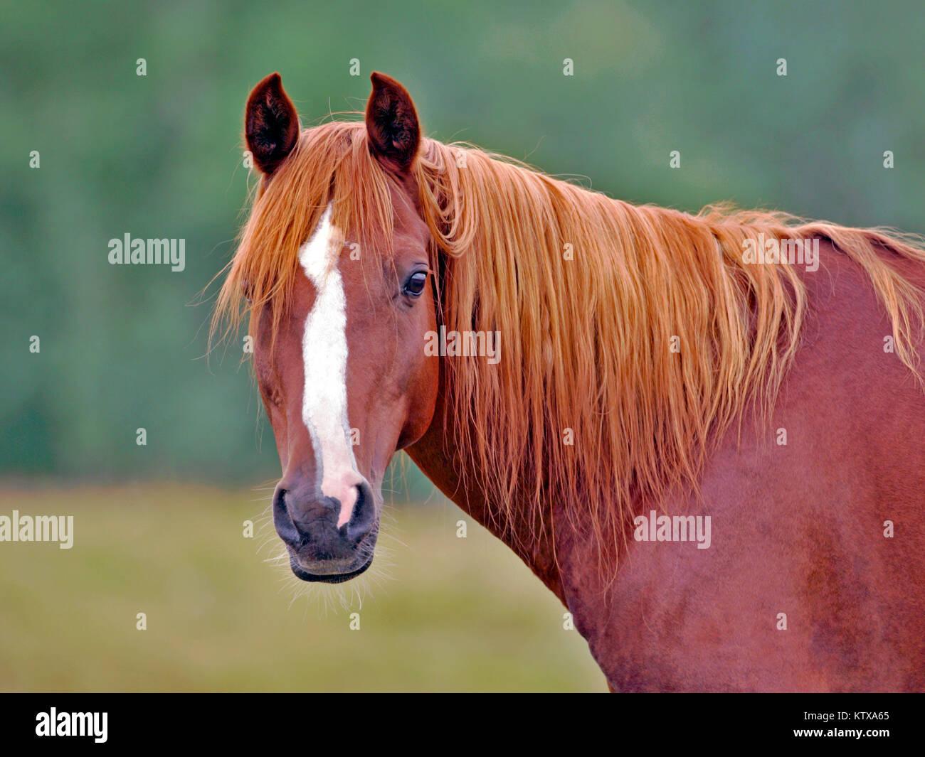 Portrait Of Beautiful Chestnut Arabian Stallion Standing In Field Stock Photo Alamy