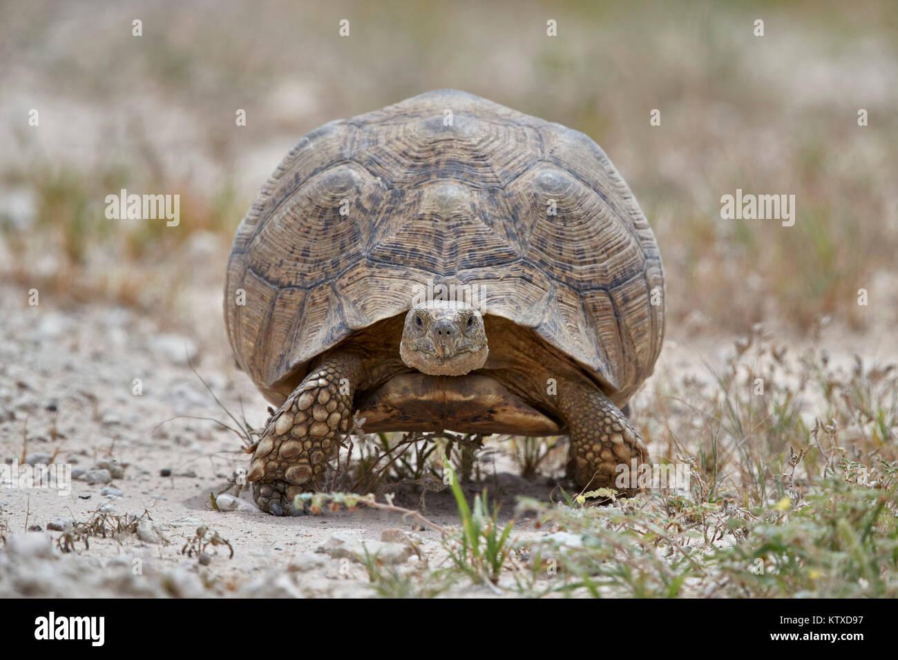 Leopard tortoise (Geochelone pardalis), Kgalagadi Transfrontier Park, South Africa, Africa - Stock Image