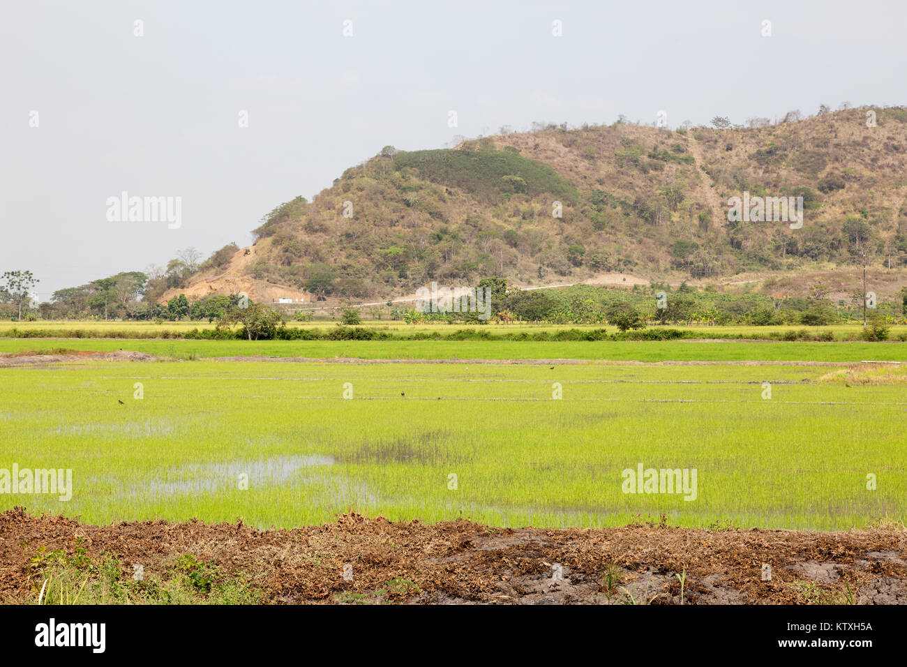 Ecuador South America - Rice fields or rice paddy fields near the coast at Guayaquil, Ecuador, South America - Stock Image