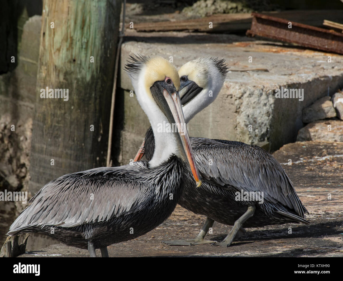 Brown Pelicans in Love 2 - Stock Image