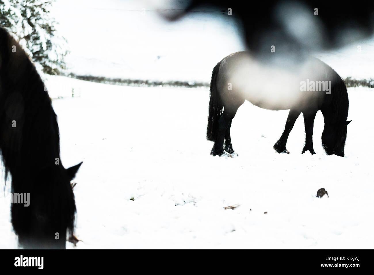 Towford, Jedburgh, Scottish Borders, UK. 26th December 2017. Fell ponies graze amongst deep snow on Boxing Day. - Stock Image