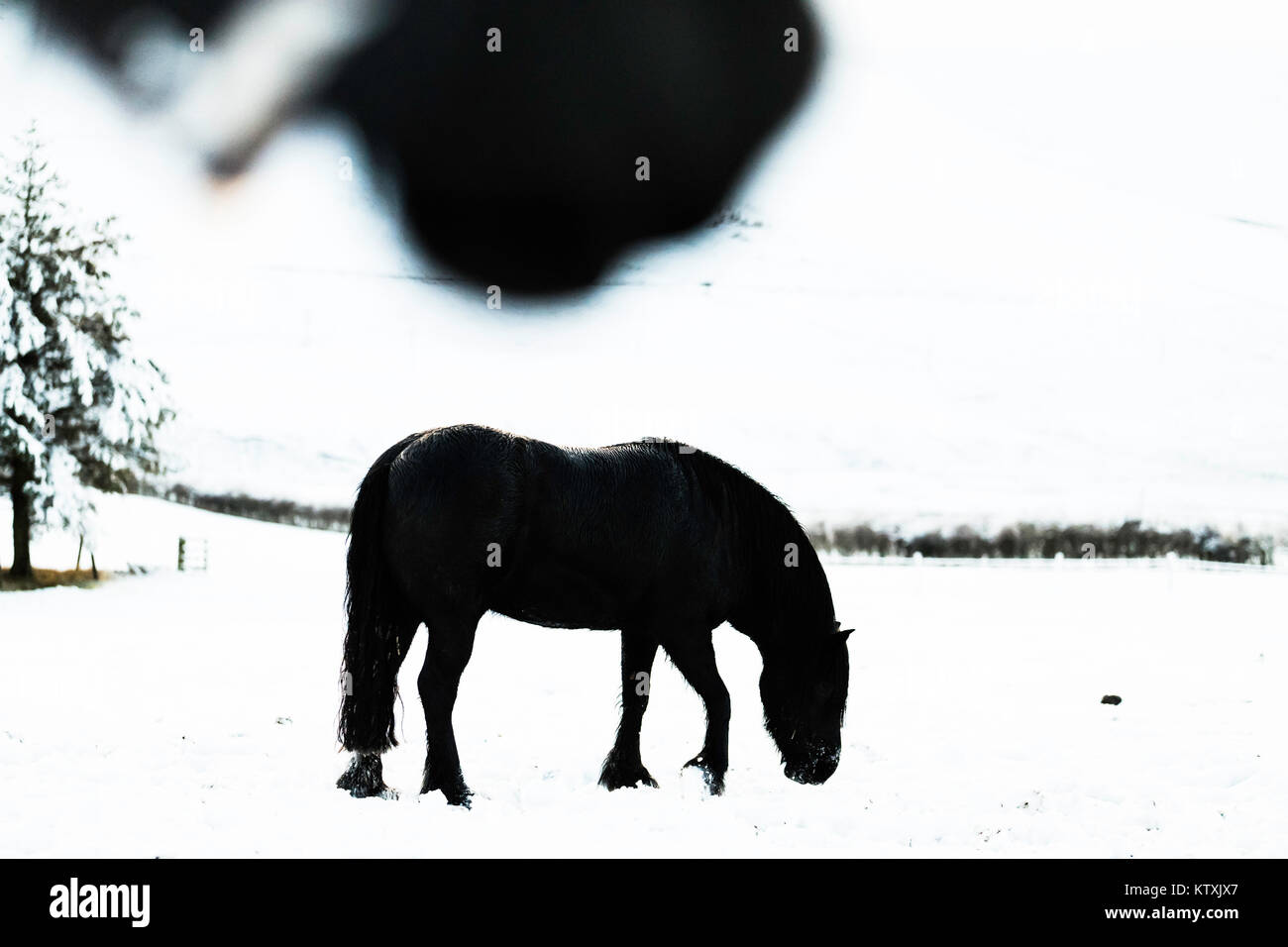 Towford, Jedburgh, Scottish Borders, UK. 26th December 2017. Fell ponies graze amongst deep snow on Boxing Day. - Stock Image