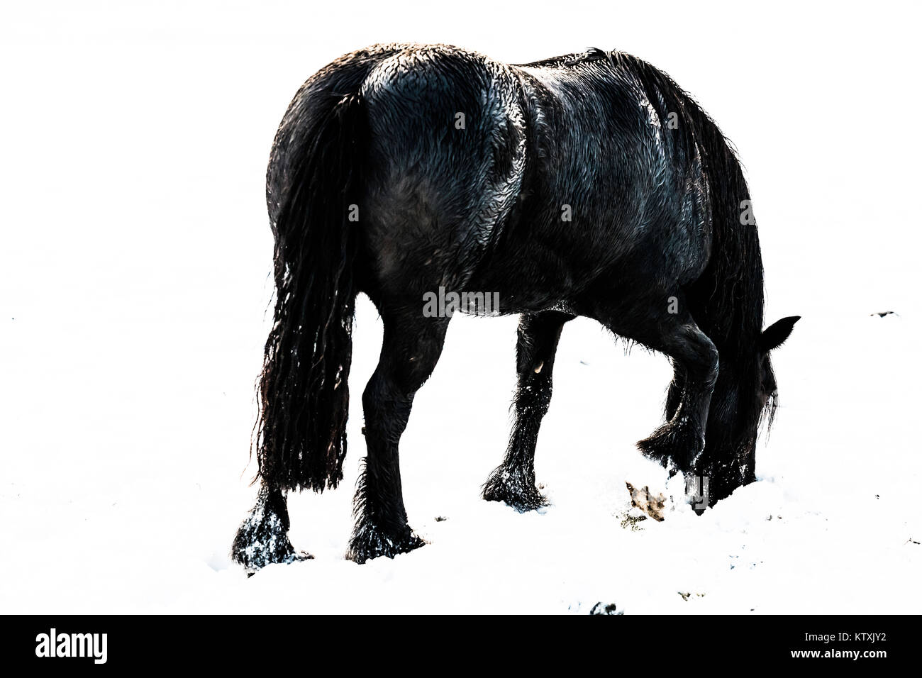 Towford, Jedburgh, Scottish Borders, UK. 26th December 2017. Fell ponies graze amongst deep snow on Boxing Day. Stock Photo